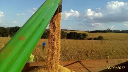 Clima favorece e colheita se intensifica na região de atuação da Coopermil