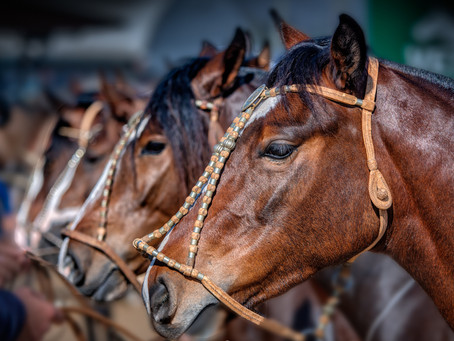 Morfologia revelará grandes campeonatos do Cavalo Crioulo na Expointer