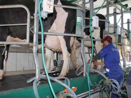 Produtores gaúchos de leite ainda sofrem dificuldades por causa da estiagem