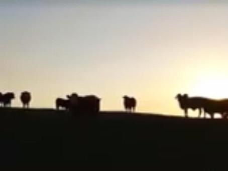 Caneleira oferta 600 reses de Brangus em leilão em Uruguaiana