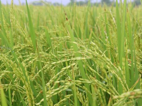 Exportações brasileiras de arroz crescem 115,4% em julho