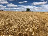 Custos de produção do trigo tem alta de 21,77% para esta safra