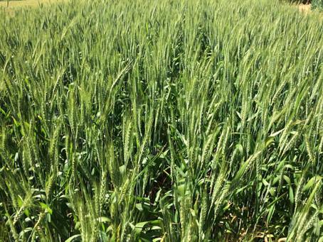 Contratos de exportação garantem venda de 360 mil toneladas do trigo gaúcho
