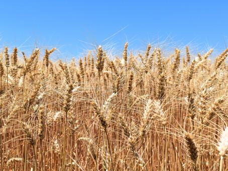Área de trigo no Rio Grande do Sul será no máximo 10% menor