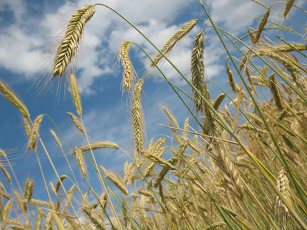 Medidas para apoiar comercialização do trigo são discutidas em Brasília