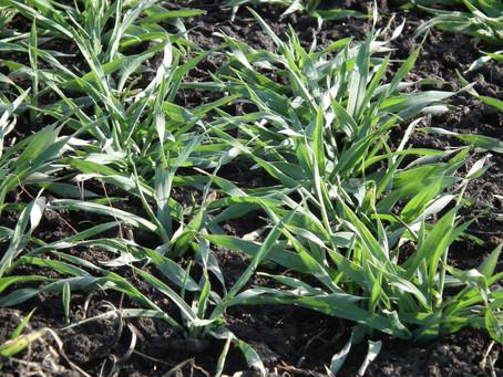 Retorno pontual das chuvas ameniza preocupações dos produtores de trigo