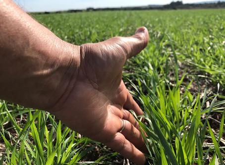 Custo de produção traz oportunidade de renda para o plantio de trigo no Rio Grande do Sul