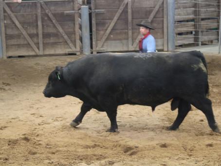 Novo status sanitário gaúcho já reflete em procura por touros e gado comercial