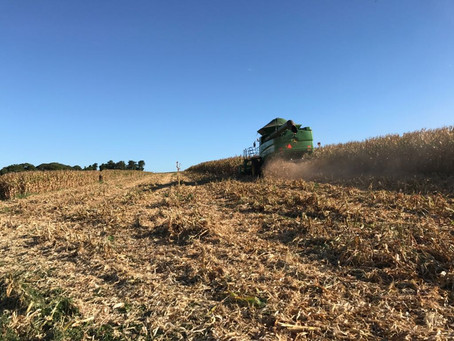 Colheita do milho é iniciada com variações de produtividade