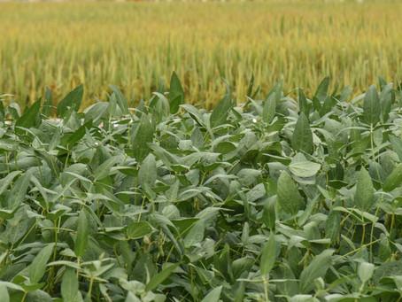 Rotação de culturas se torna alternativa para minimizar custos do arroz