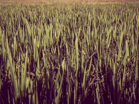 Altos custos de produção no arroz continuarão na próxima safra