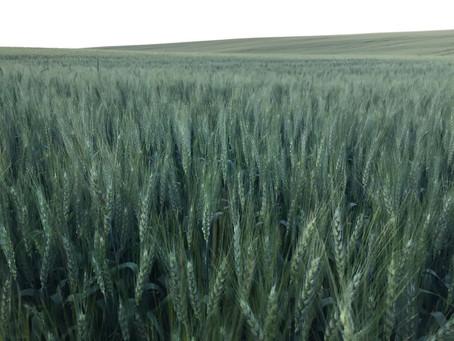 Clima afeta produtividade e qualidade do trigo gaúcho