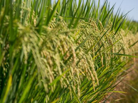 Segundo semestre de 2019 será marcado pela escassez de arroz