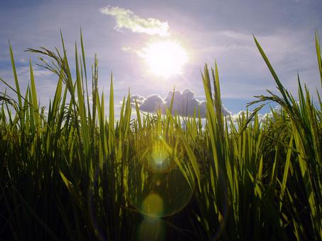 Exportações de arroz superam importações pelo quarto ano consecutivo