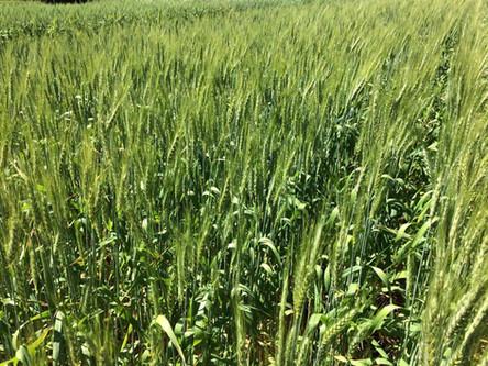 Comercialização do trigo preocupa produtores no início da colheita