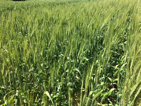 Levantamento mantém queda de 10% na área de trigo no Rio Grande do Sul