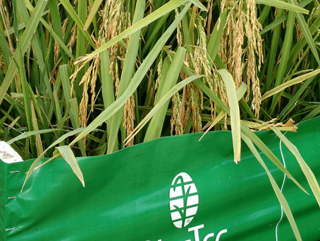 RiceTec contará com sementes convencionais em seu portfólio