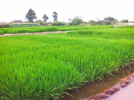 Clima liga sinal de alerta para produtores de arroz antes da colheita