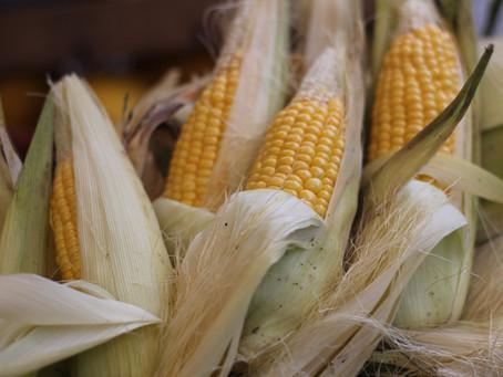 Investimento na lavoura de milho aumenta procura pelo seguro rural