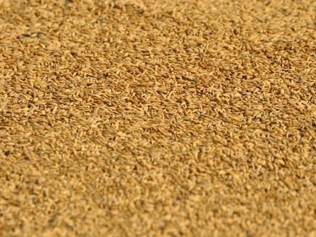Exportações brasileiras de arroz crescem 20,5% em março