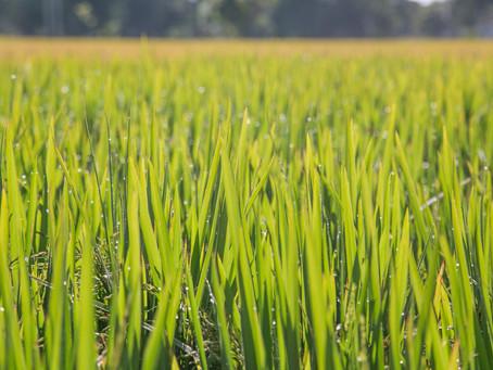 Governo federal sinaliza com prorrogação de custeio e investimento para o arroz