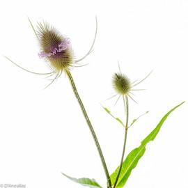 INSITU photographie Mâcon fleurs des champs