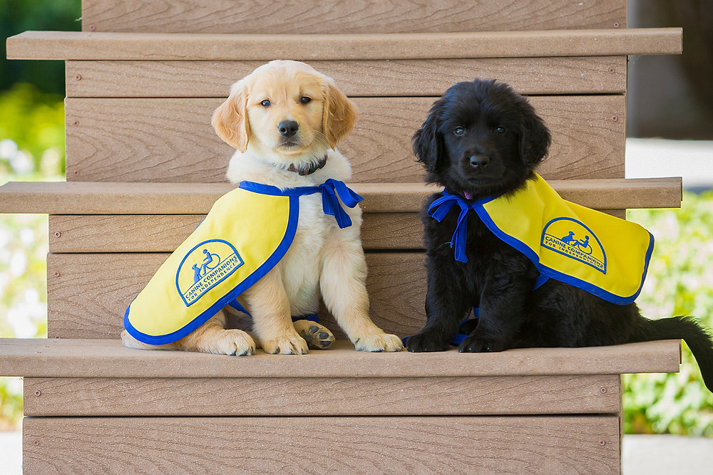 Golden retriever puppies in guide dog training on steps