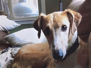 CFWT Grant Story: A Place for Us Greyhound Rescue