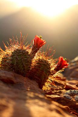 Sedona Cactus Sunrise Photography Arizona