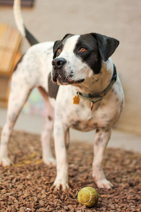 Humane Society Rescue Dog with Ball