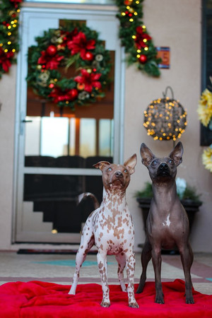 Dog Photography Rat Terriers Christmas Portrait