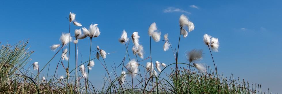 COLOUR - Bog Cotton by Pete Irvine (12 marks)