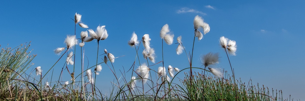 COLOUR - Bog Cotton by Pete Irvine (12 marks)