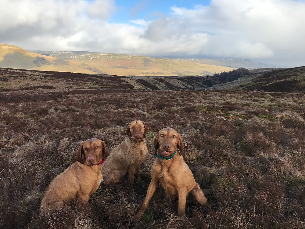 We were very lucky to visit the grouse moors a few weeks ago!  The dogs had a fabulous time hunting.  Blessed having time in this wonderful place!  Such a treat!
