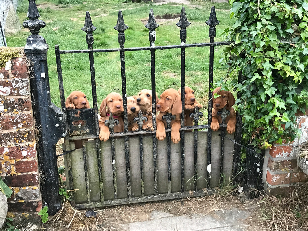 This weekend the puppies start to fly the nest!  They are a super confident bunch and very much ready for their new homes!  Here they are, being ably assisted by the sausage dogs, planning their escape!