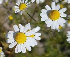 fleurs camomille.jpg