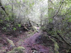 Walk in the Tarkine Wilderness of north-west Tasmania, Australia