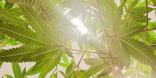 Cannabis-Desktop-2000px.jpeg