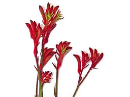 kangaroo-paw-flower.jpg