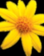 ARNICA_FLOWER_LR.png