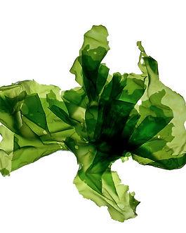 Ulva-Green-Sea-Lettuce-from-An-Ocean-Gar