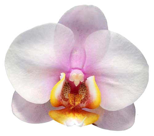 orchid-white-pink.png