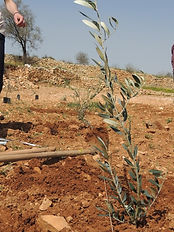 Planting an olive tree1.jpg