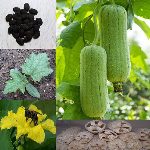 Luffah Seeds