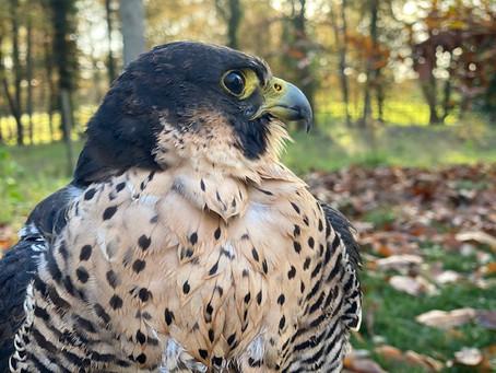 Risque élevé d'influenza aviaire et démarches à suivre