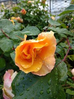 Rose Accord