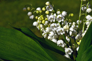 lily-of-the-valley-4175677_1920.jpg