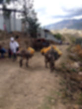 Donkeys loaded with several Jericcans to