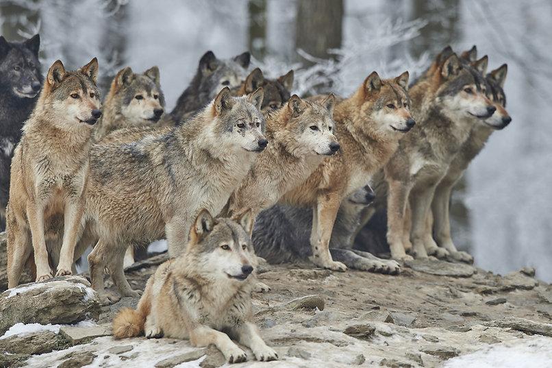 Pack_Wolves
