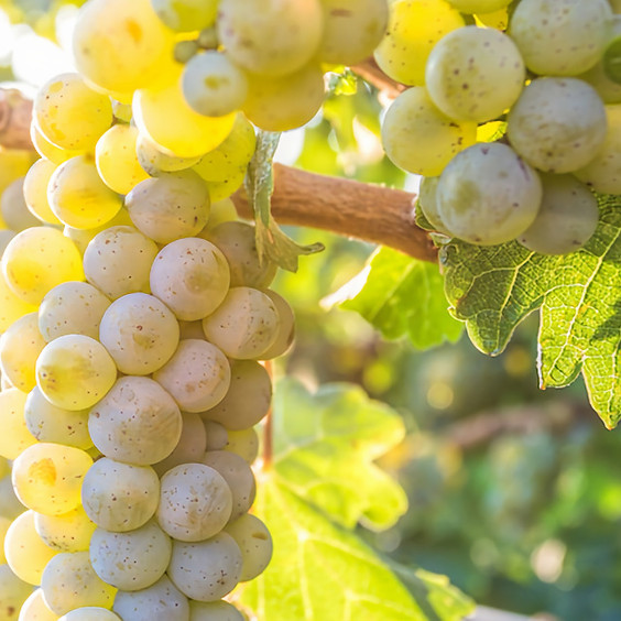 Sauvignon Blanc Vitrual Tasting
